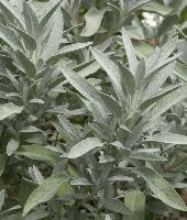 Salvia officinalis Nazareth.jpg